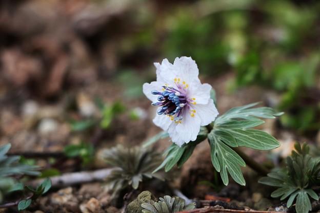 珍しい八重咲きセツブンソウ