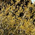 写真: マンサクの花