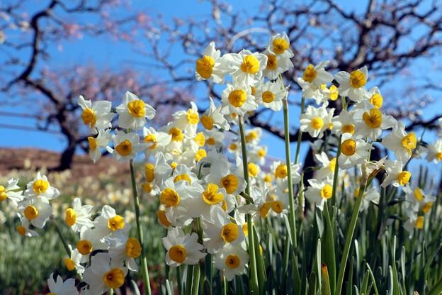 梅園にはニホンズイセンが開花中