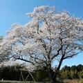 一本桜「今水桜」