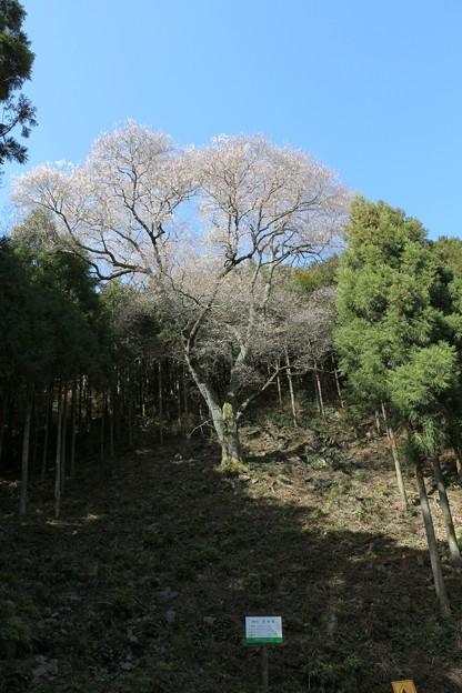 山の斜面に立つ「吉祥桜」