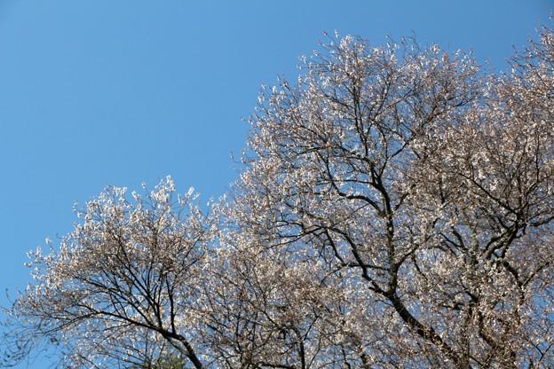 エドヒガン桜の吉祥桜