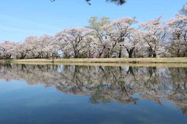 写真: 桜の水鏡