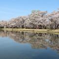 写真: 水面に映し出す桜並木
