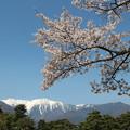 写真: 桜と雪山の中央アルプス