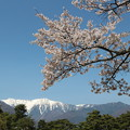 桜と雪山の中央アルプス