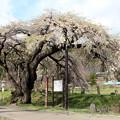 一本桜銘木しだれ桜「市天然記念物」