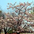 桜「松月」
