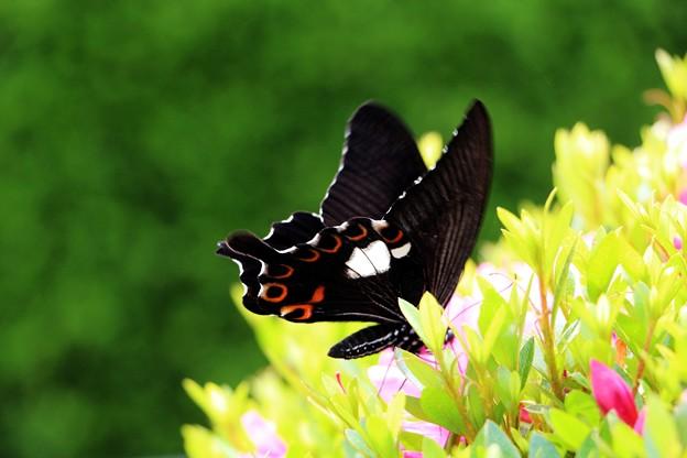 モンキアゲハ蝶が撮れました