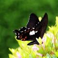 写真: モンキアゲハ蝶が撮れました