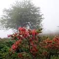 写真: 濃霧に覆われたレンゲツツジ