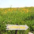 ニッコウキスゲの咲く丘