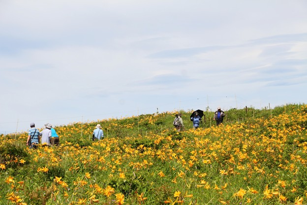 写真: ニッコウキスゲの咲く丘