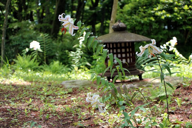 庭に咲くヤマユリ