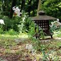 IMG_0196庭に咲くヤマユリ