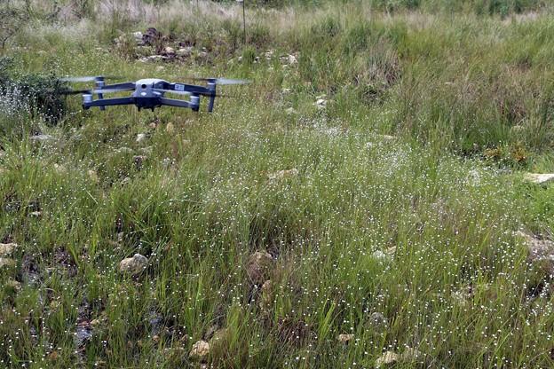 シラタマホシクサ群生上のドローン撮影
