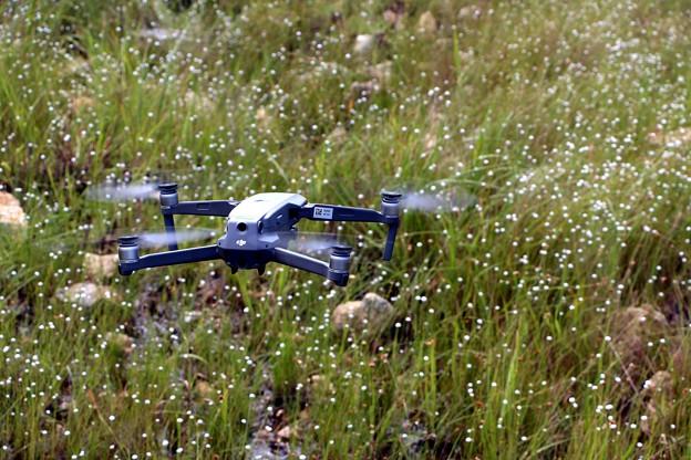 シラタマホシクサ群生を飛ぶドローン
