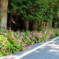 IMG_0075道路沿いに約10mにピンクの花