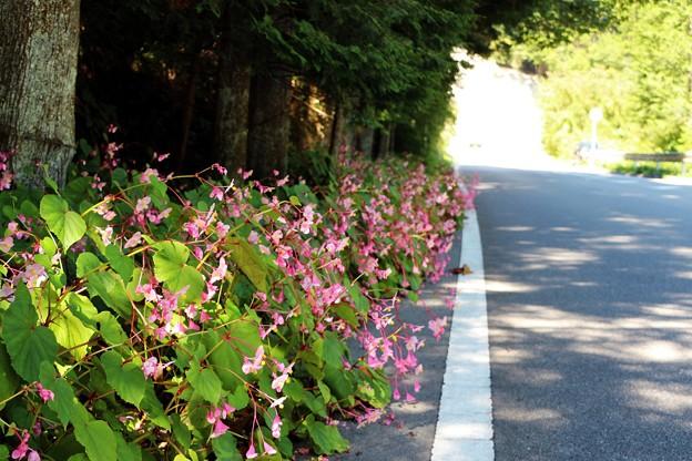 県道を彩るピンクの花