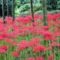 竹林に咲く彼岸花