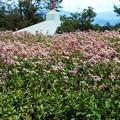 フジバカマの花々