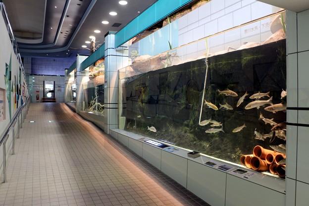 豊川に生息の淡水魚展示水槽路