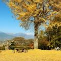 Photos: 大銀杏と北アルプス