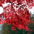写真: 真っ赤な一行楓の紅葉