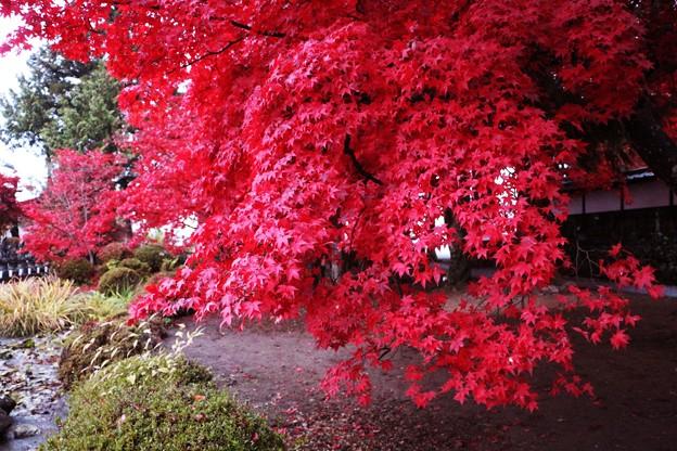 楓の真っ赤な紅葉