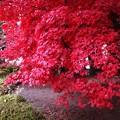 写真: 楓の真っ赤な紅葉