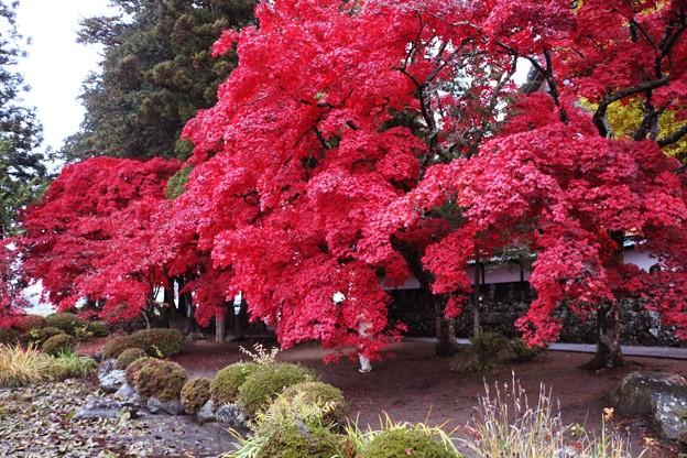 睡蓮池に真っ赤な楓の紅葉