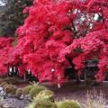 写真: 睡蓮池に真っ赤な楓の紅葉
