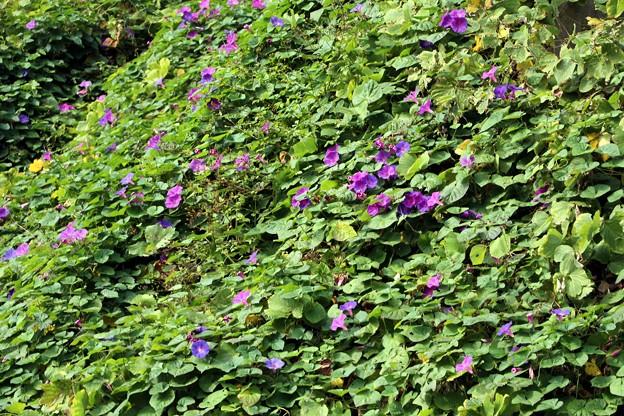 斜面に咲くヘブンリーブルー
