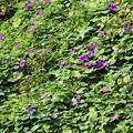 写真: 斜面に咲くヘブンリーブルー