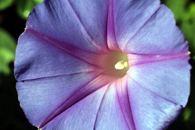 美しい青い花ヘブンリーブルー