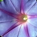 写真: 美しい青い花ヘブンリーブルー