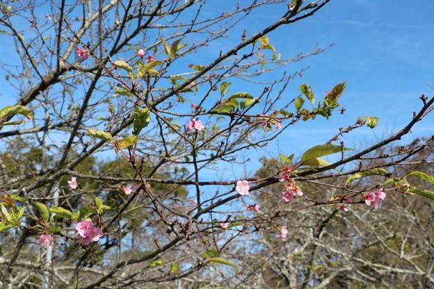 季節外れの河津桜咲く
