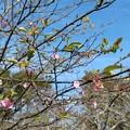 Photos: 季節外れの河津桜咲く