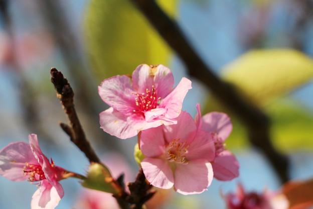 狂い咲き 「河津桜」の開花
