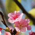 Photos: 狂い咲き 「河津桜」の開花