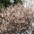 Photos: 満開の四季桜