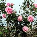薔薇「羽衣」