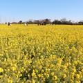 加治町地区菜の花畑
