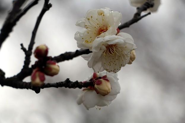 梅花 「八重冬至」