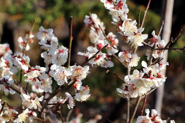 Photos: 冬至梅