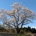 樹齢130年以上の今水桜「エドヒガン桜」の巨木