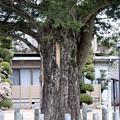 西岸寺目通り幹囲4.9mのカヤ(飯島町天然記念物)