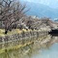 松本城外堀の桜並木