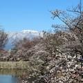 松本城外堀の桜と北アルプス