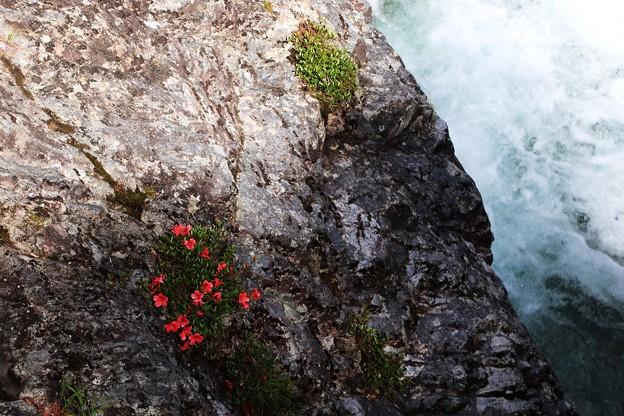 吊り橋の下に咲く「岩ツツジ」